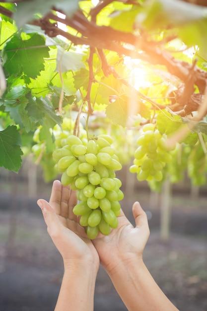 Main tenant une grappe de raisins verts frais suspendu à un bus Photo Premium