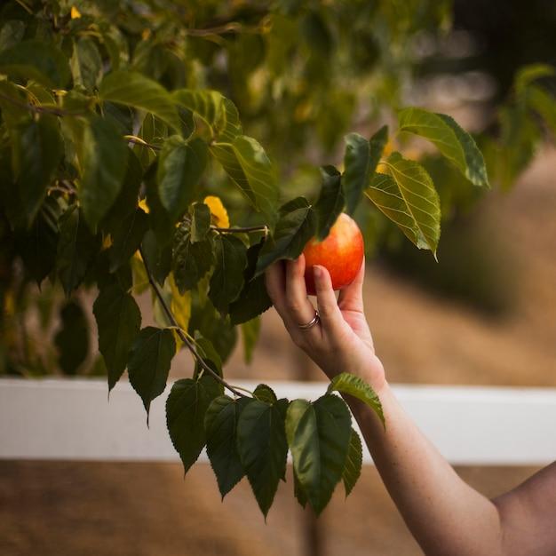Main tenant la pomme mûre sur l'arbre Photo gratuit