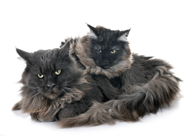 Maine coon chats Photo Premium