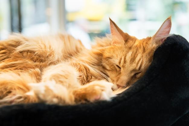 Maine coone cat géant au gingembre Photo Premium