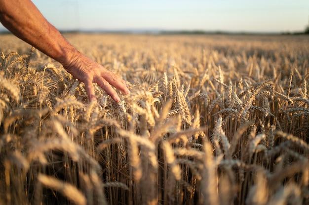 Les Mains Des Agriculteurs En Passant Par Les Cultures Dans Le Champ De Blé Au Coucher Du Soleil Photo gratuit
