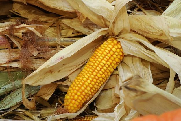 Maïs en épi avec des balles de maïs sèches. concept alimentaire et agricole. Photo Premium