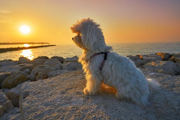 Maltichon chien regardant plage coucher de soleil Photo Premium