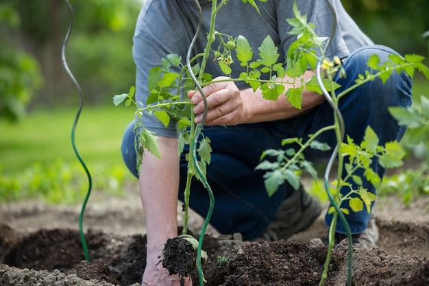 Man Planter Des Tomates Dans Son Immense Jardin, Concept De Jardinage Photo Premium