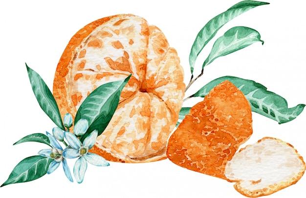 Mandarine pelée avec des fleurs et des feuilles isolés sur fond blanc. illustration aquarelle Photo Premium