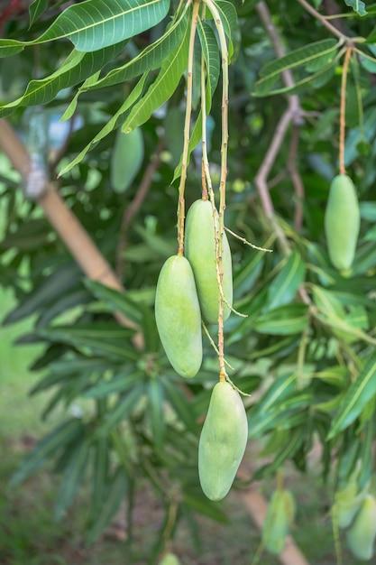 Mangue, manguier utiliser comme illustrations Photo Premium
