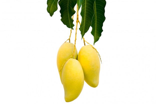 Le manguier de brousse Photo Premium