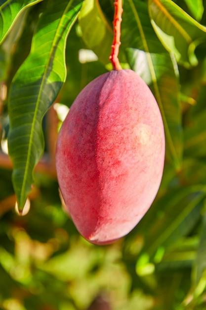 Manguier avec fruits de mangue suspendus Photo Premium
