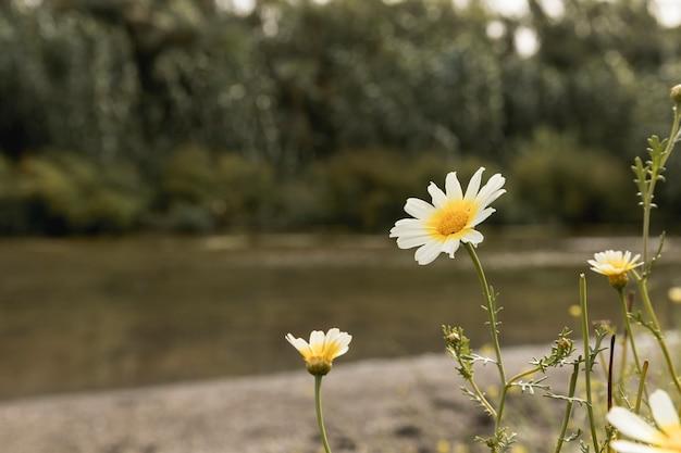 Marguerite fleurs près de la rivière Photo gratuit