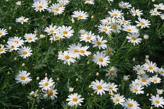Marguerites blanches, fleur Photo Premium