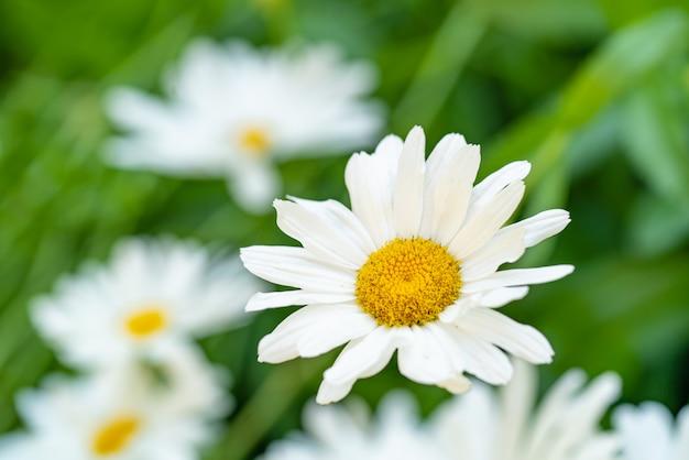 Les marguerites fleurissent sur le parterre de fleurs en été. le milieu de la camomille est jaune Photo Premium