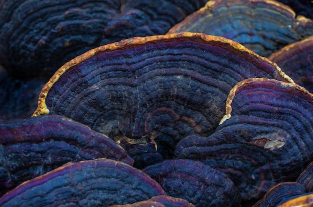 Mashrooms d'arbres exotiques pour la médecine orientale traditionnelle et le remède. phellinus linteus. abstrait. Photo Premium