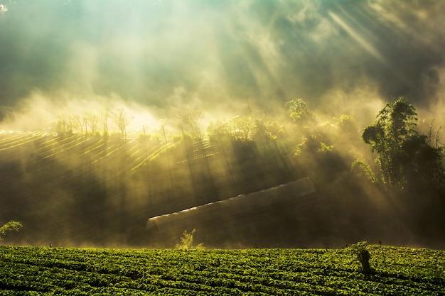 Matin brumeux, lever soleil, dans, fraise, jardin, à, doi angkhang, montagne, chiangmai, thaïlande Photo Premium
