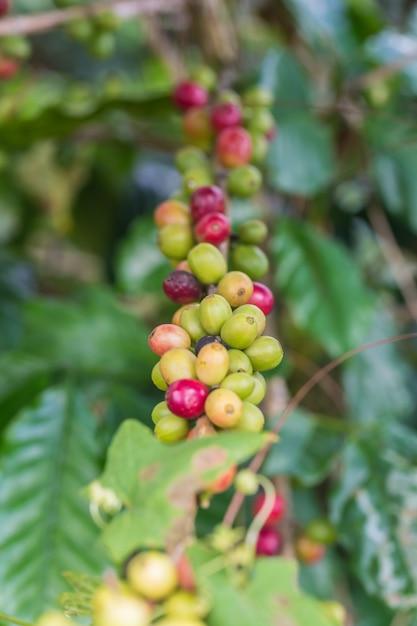 Maturation des grains de café, café frais sur un arbre au nord de la thaïlande Photo Premium