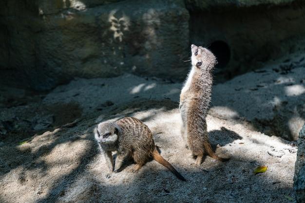 Meerkat Est Debout. C'est Un Animal Sceptique. Il Faut Le Respecter. Photo Premium