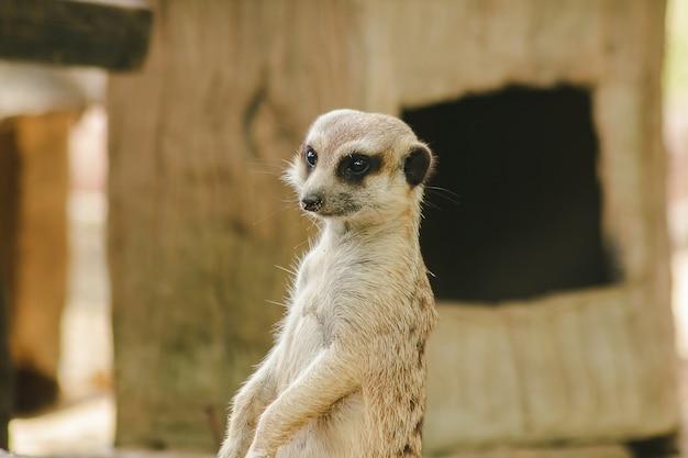 Meerkat A Une Petite Taille. Est Un Mammifère Photo Premium