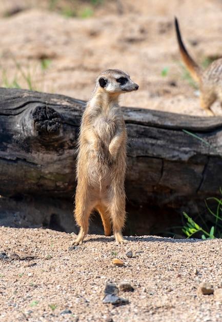 Meerkat Suricata Ou Suricatta - Animal Indigène Africain Dans Un Parc Naturel Photo Premium