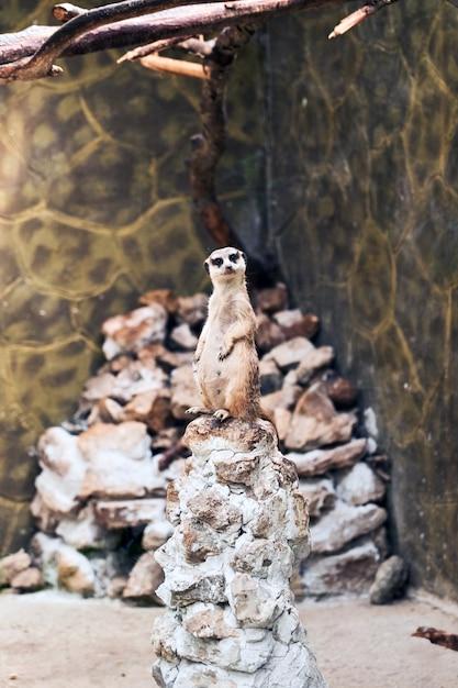 Meerkat Surikate Trouvé Dans Le Zoo De Melbourne Photo Premium