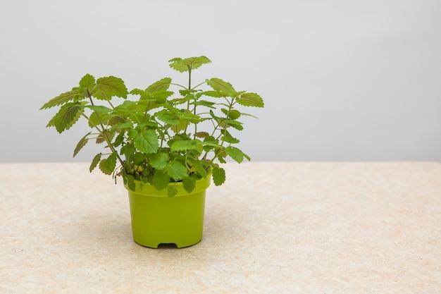 Mélisse. Melissa Cultivée à Partir De Graines Dans Un Pot Vert Photo Premium