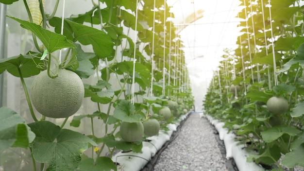 Melon vert bio cantaloup poussant dans une serre. Photo Premium