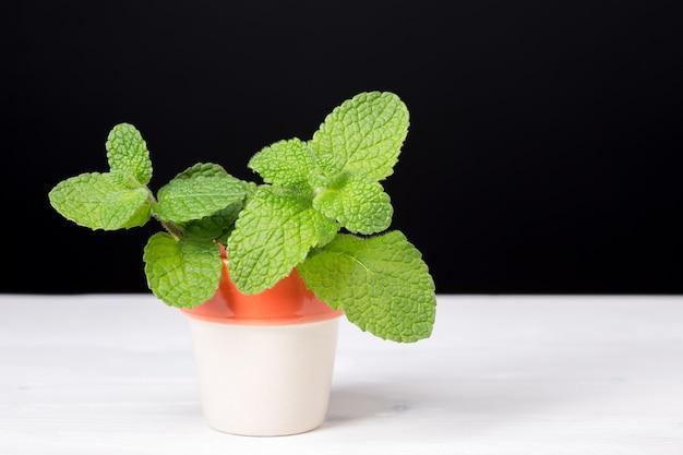Menthe Poivrée Sur Pot. Herbe Aromatique Pour La Nourriture Et Les Boissons Photo Premium