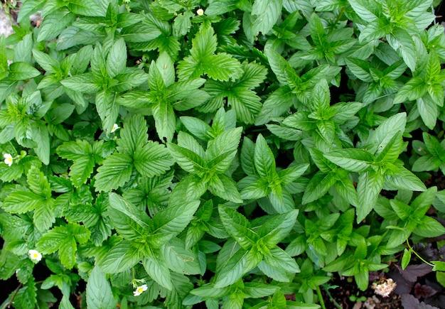 Menthe verte dans le jardin d'été Photo Premium