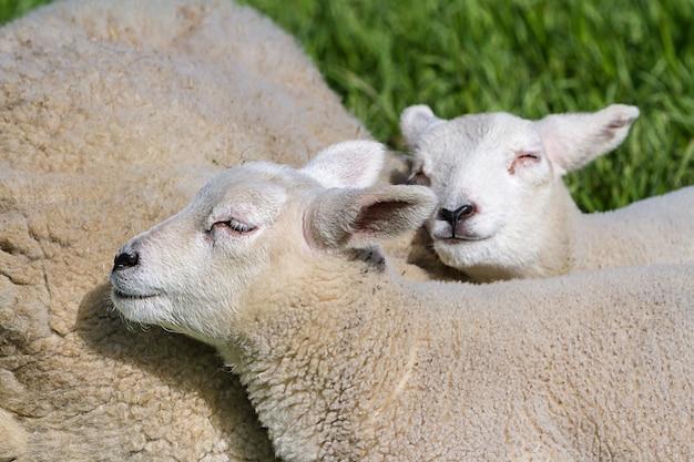 Mère agneau et bébé agneau marchant sur le pré Photo Premium