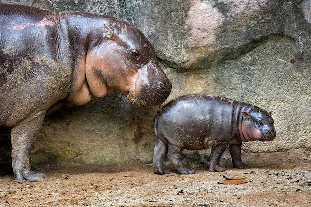 Mère et bébé hippopotame dans l'atmosphère de la nature. Photo Premium