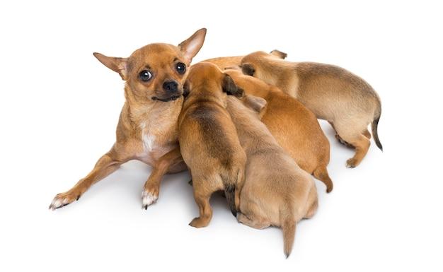 Mère Et Bébés Chihuahuas Photo Premium