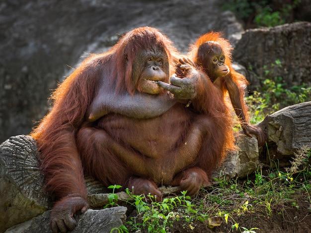 Une mère orang-outan et son bébé se détendent dans l'environnement naturel du zoo. Photo Premium