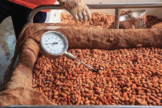 Mesurez La Température Des Fèves De Cacao Fermentées. Photo Premium