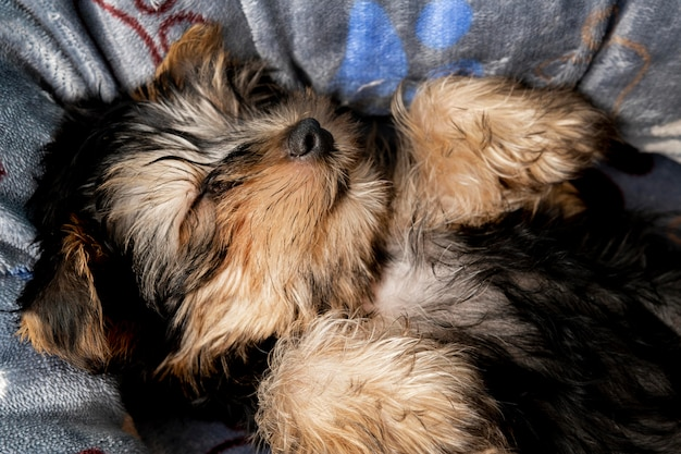 Mignon Chiot Yorkshire Terrier Dormant Dans Son Lit Photo gratuit