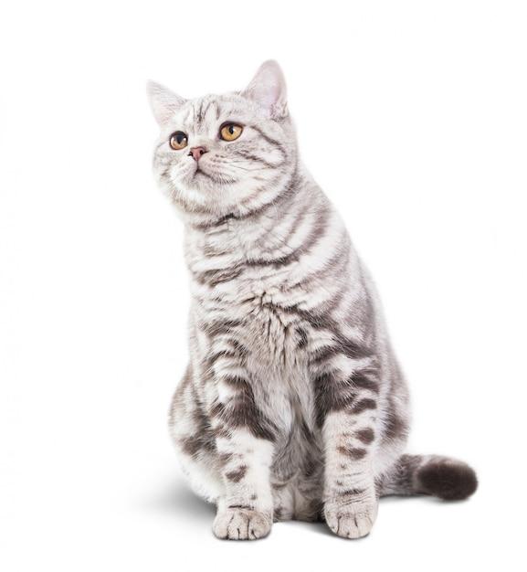 Mignon Petit Chat Gris Sur Fond Blanc Photo Premium