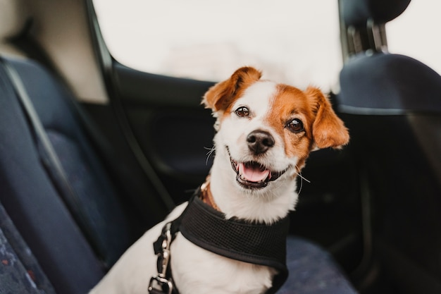 Mignon Petit Chien Jack Russell Dans Une Voiture Portant Un Harnais De Sécurité Et Une Ceinture De Sécurité Photo Premium