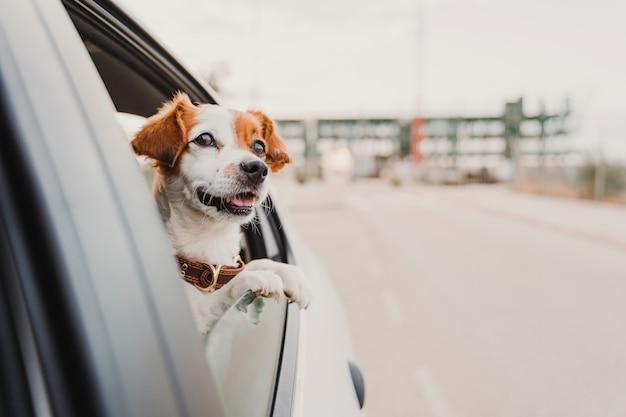 Mignon Petit Chien Jack Russell Dans Une Voiture En Regardant Par La Fenêtre Photo Premium