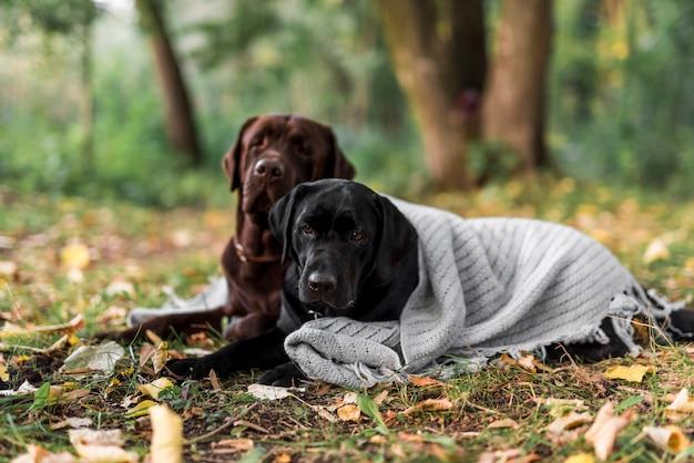 Mignons deux chiens couché sur l'herbe avec une écharpe au parc Photo gratuit