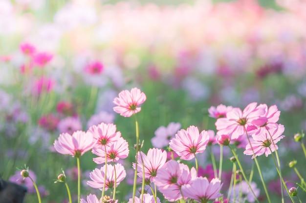 Mise au point douce et sélective de cosmos, fleur floue pour le fond, plantes colorées Photo Premium