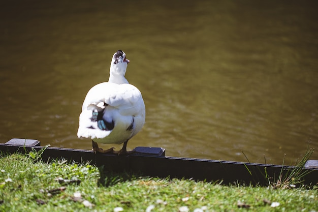 Mise Au Point Sélective D'un Canard Blanc Debout Près D'un Lac Et D'un Champ Couvert D'herbe Par Une Journée Ensoleillée Photo gratuit