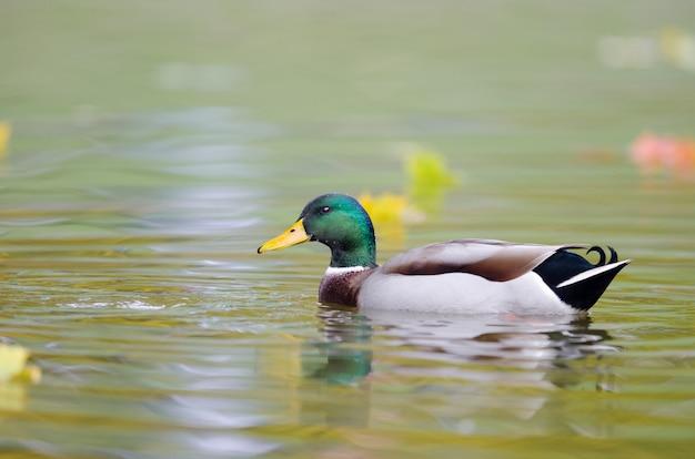 Mise Au Point Sélective D'un Canard Colvert Dans L'eau Photo gratuit