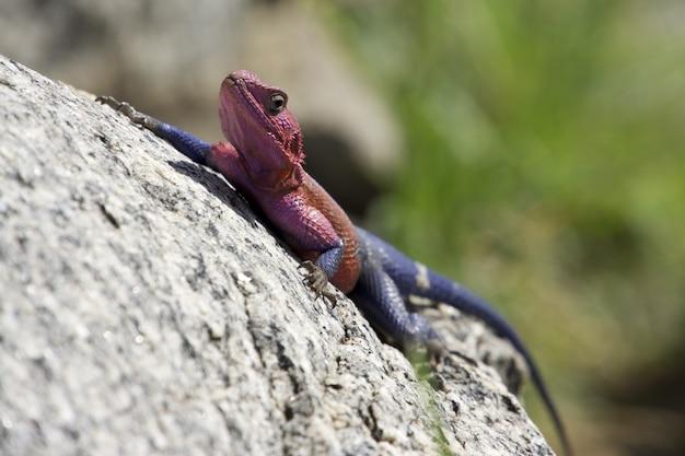 Mise Au Point Sélective D'un Lézard Agama Rouge Et Bleu Escaladant Un Rocher Photo gratuit
