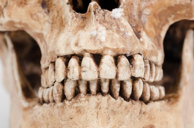 Modèle de dents humaines (crâne) sur fond blanc Photo Premium