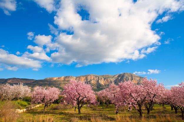 Mongo à denia javea au printemps avec des fleurs d'amandier Photo Premium