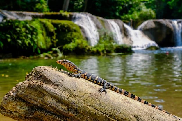 Moniteur d'eau pour bébés varanus salvator vivez sur le bois autour de la cascade Photo Premium