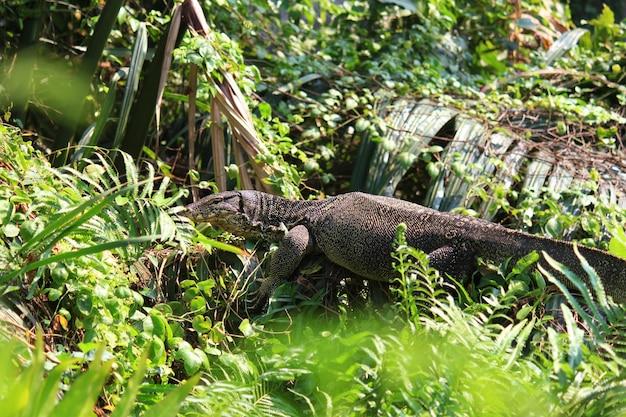 Le moniteur d'eau ou varanus salvator est reptiles et amphibiansin vivent dans la forêt de la thaïlande. Photo Premium