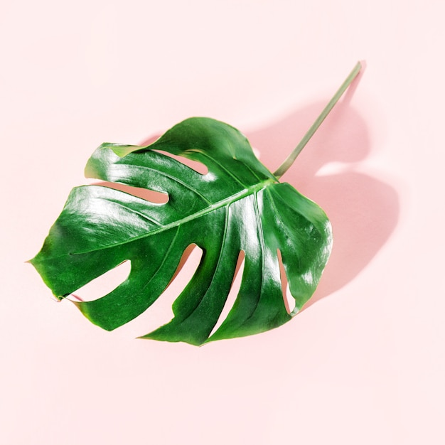 Monstera feuille verte sur rose Photo gratuit