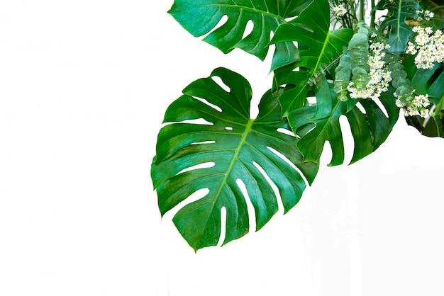 Monstera feuilles feuilles avec isoler sur fond blanc feuilles sur blanc Photo Premium