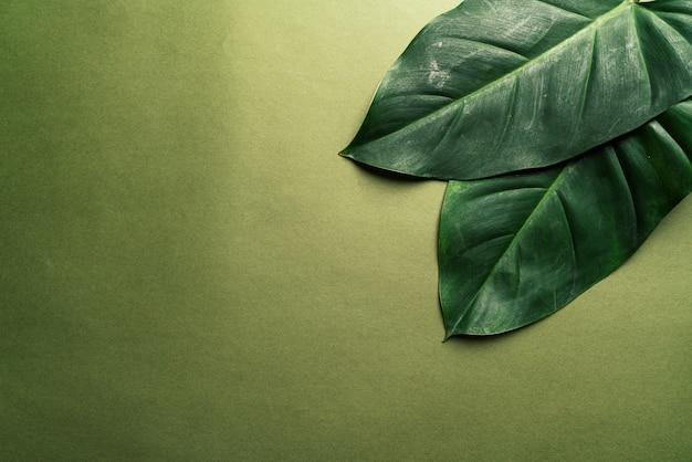 Monstera feuilles sur fond vert Photo Premium