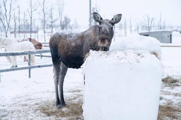 Moose Debout Près D'un Bloc De Foin En Regardant Vers L'appareil Photo Dans Le Nord De La Suède Photo gratuit