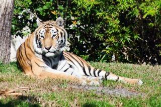 Motif Tigre Photo gratuit