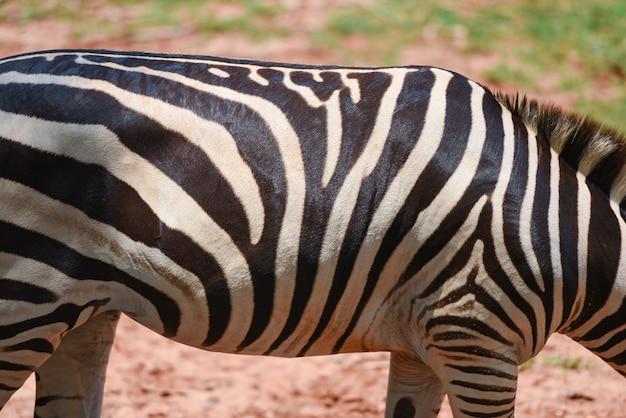 Motif de zèbre de véritables plaines africaines de zèbre broutent l'herbe dans le parc national Photo Premium